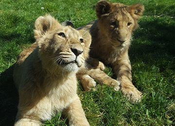 Deux lionceaux dans l'herbe au parc animalier Le PAL