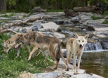 Une famille de loups au zoo Le PAL