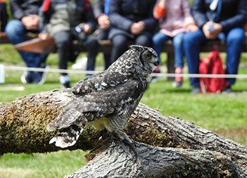 Grand duc européen lors d'un spectacle au parc animalier Le PAL