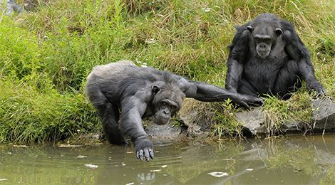 Educational animation of chimpanzees
