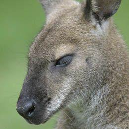 Gros plan sur la tête d'un wallaby de Bennett au zoo Le PAL dans l'Allier