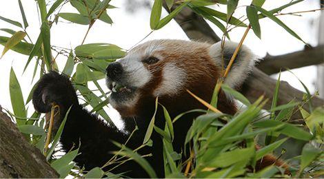 Feeding red pandas