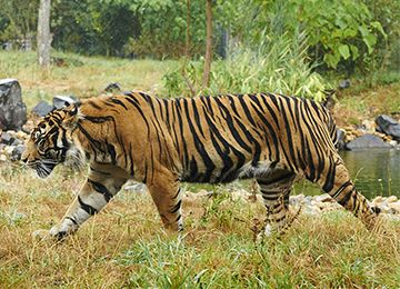 Un tigre marchant avec détermination au zoo Le PAL