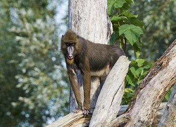 Un mandrill entre deux troncs d'arbres au zoo Le PAL