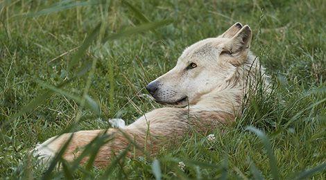 North-western wolf