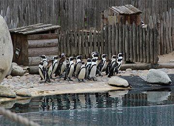 Un groupe de Manchots du Cap au borde de l'eau au zoo Le PAL