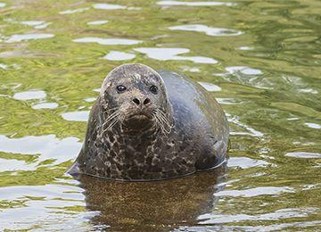Un phoque veau marin sortant de l'eau au zoo Le PAL