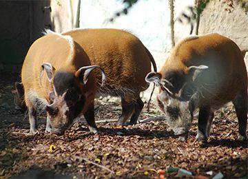 Deux potamochères de face au zoo Le PAL