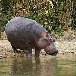 Hippopotame du parc Le PAL entrant dans l'eau pour le nourrissage quotidien