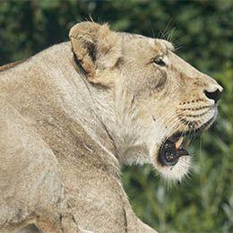 Lion d'Asie de profil au parc animalier Le PAL dans l'Allier