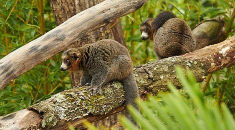 White-collared lemur