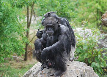 Deux chimpanzés sur une pierre au zoo Le PAL