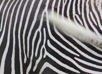 Gros plan sur les rayures d'un zèbre au parc animalier Le PAL en Auvergne