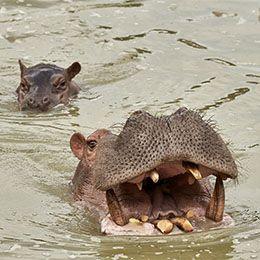 Maman hippopotame et son petit à l'heure de l'animation pédagogique du parc animalier Le PAL