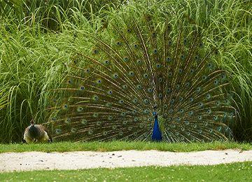 Un paon bleu faisant la roue avec ses plumes au parc animalier Le PAL