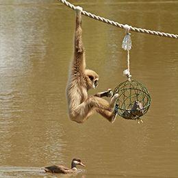 Gibbon à mains blanches suspendu à une corde au parc animalier Le PAL dans l'Allier
