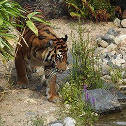 Un tigre s'approchant de l'eau au zoo Le PAL