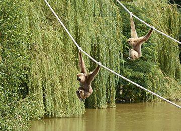 Deux gibbons à mains blanches se balançant à des cordes au parc animalier Le PAL