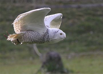 Femelle Harfang des neiges en plein vol au parc animalier Le PAL en Auvergne