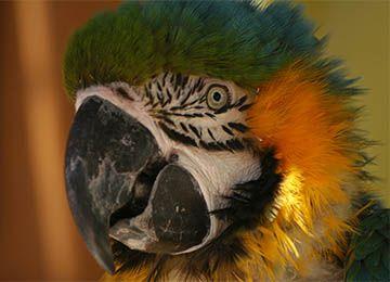 Gros plan sur la tête d'un ara bleu au zoo Le PAL
