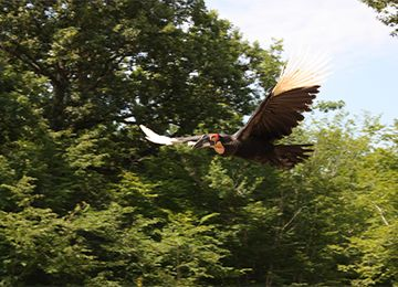 Calao terrestre de Leadbeater en plein vol au parc animalier Le PAL