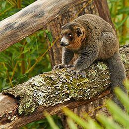 Gros plan sur un Lémur à collier blanc accroché sur un arbre au parc animalier Le PAL