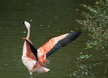 Flamant du Chili qui vole au dessus de l'eau au parc zoologique Le PAL dans l'Allier