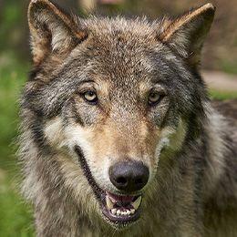 La tête d'un loup au zoo Le PAL
