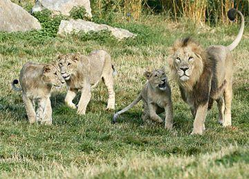 Lions d'Asie en groupe au parc animalier Le PAL au cœur de l'Allier