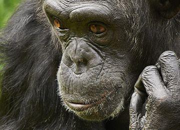 Un chimpanzé réfléchissant au zoo Le PAL