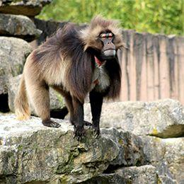 Un Gélada debout sur un rocher au parc animalier Le PAL