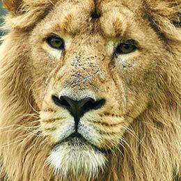 Gros plan sur la tête d'un lion d'Asie au zoo Le PAL