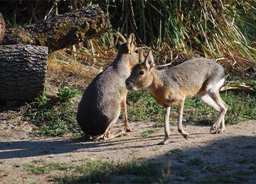 Deux maras sur un chemin de terre au zoo Le PAL dans l'Allier