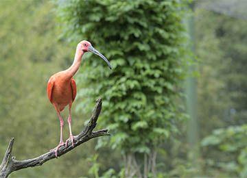 Un Ibis rouge debout sur un morceau de bois au parc animalier Le PAL en Auvergne