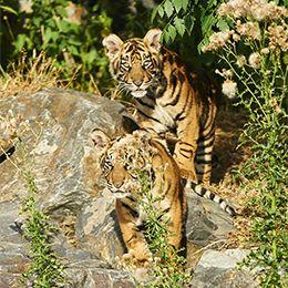 Deux tigres au parc animalier Le PAL