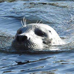 Un phoque nage au parc animalier Le PAL