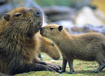 Un petit Capybara et sa mère au zoo Le PAL au cœur de l'Auvergne