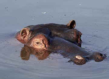 Un hippopotame sortant la tête de l'eau au zoo Le PAL