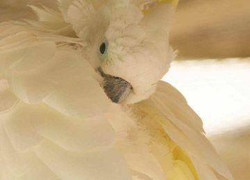 Cacatoès à huppe jaune nettoyant ses plumes au parc animalier Le PAL en Auvergne