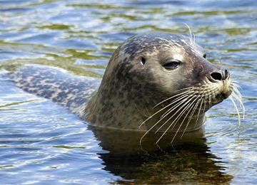 Gros plan sur la tête d'un phoque veau marin au zoo Le PAL