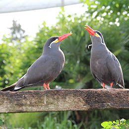 Deux Sternes Inca au zoo Le PAL dans l'Allier