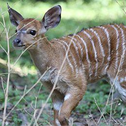 Un petit Nyala au parc zoologique Le PAL