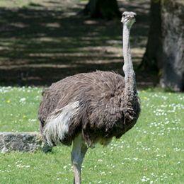 Une autruche debout dans l'herbe au zoo Le PAL