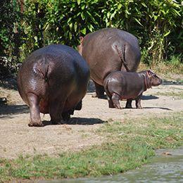 Une famille d'hippopotame au zoo Le PAL