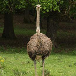 Un autruche marchant dans l'herbe au zoo Le PAL dans l'Allier