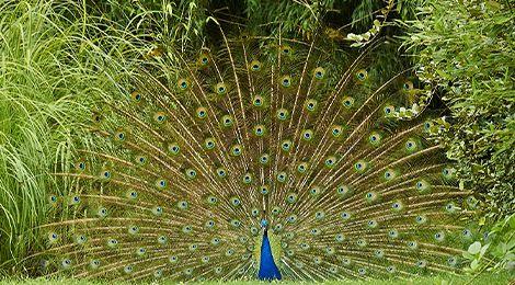 Blue peafowl