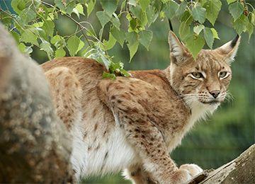 Lynx d'Europe dans un arbre, au zoo Le PAL en Auvergne
