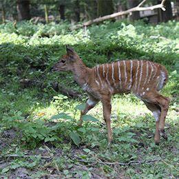 Un Nyala dans la forêt au zoo Le PAL