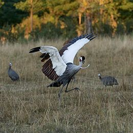 Une Grue couronnée prenant son envol au parc animalier Le PAL