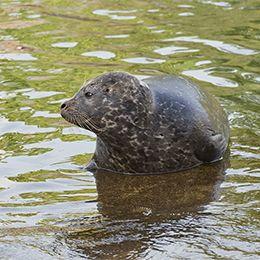 Phoque veau marin sortant de l'eau au parc animalier Le PAL